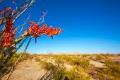 picture of ocotillo  - Ocotillo Fouquieria splendens red flowers in Mohave desert california USA - JPG