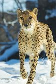 stock photo of snow-leopard  - Gorgeous cheetah running on the snow towards the camera - JPG