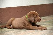 foto of chocolate lab  - Sleeping chocolate lab puppy - JPG