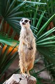 image of meerkats  - meerkat on a background of palm trees - JPG