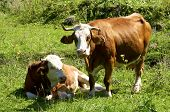 image of cattle breeding  - Cows on the pasture in Upper Austria - JPG