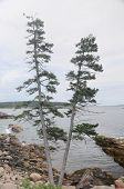 pic of v-day  - A V shaped pine tree on the rocky coast of Maine on a overcast day - JPG