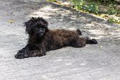 Black Shaggy Dog , cross Breed , mongrel