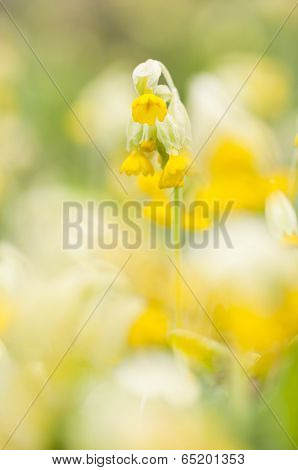 Yellow Cowslip Or Primrose Flower