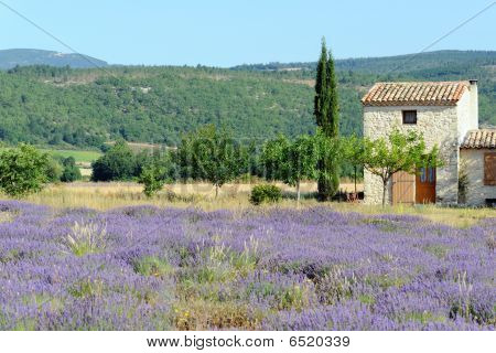 Lavender In Provence (france)