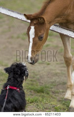 Foal And Dog