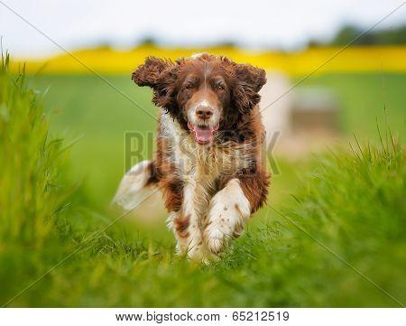 Running Springer Spaniel