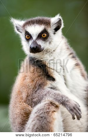 Ring-tailed Lemur (Lemur catta) looks out with big, bright orange eyes