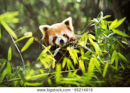 Young lesser panda (Ailurus fulgens)