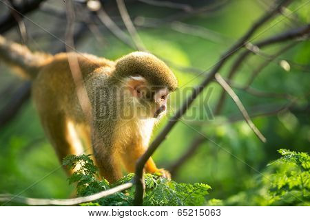 cute squirrel monkey in tree