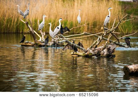 Colony of Grey Herons (Ardea cinerea)