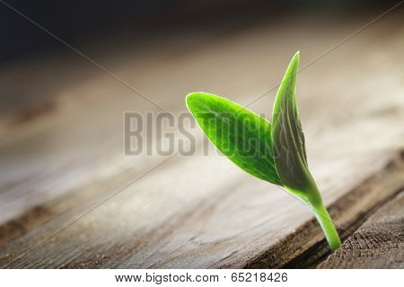 sprout sprouting across the wooden floor