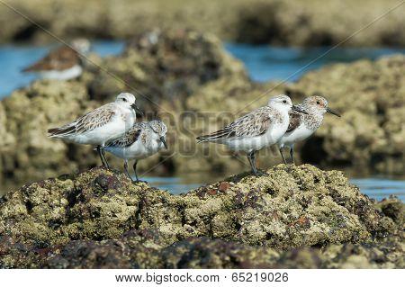 4 Sanderling (caladris Alba) Standing On Barnacle Covered Rocks At Low Tide