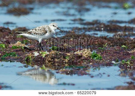 A Sanderling (caladris Alba) Wading On A Seaweed Strewn Beach