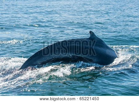 Mighty Humpback whale (Megaptera novaeangliae) seen from the boat near Husavik, Iceland
