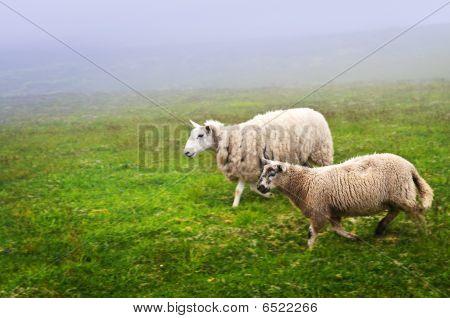 Sheep In Newfoundland