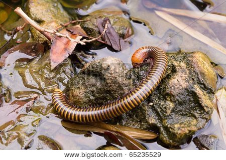 Millipede On A Stone