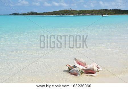 Conches on the beach. Exuma, Bahamas