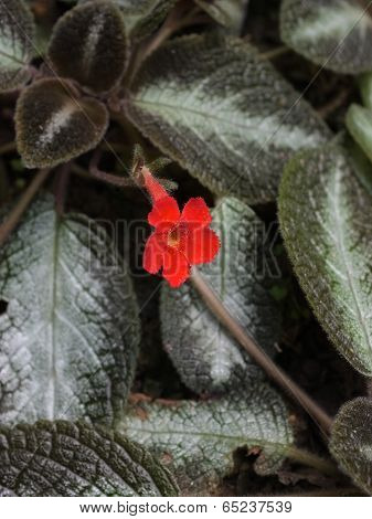 red flower with silver leaves