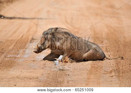 Warthog Taking A Mud Bath