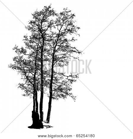 Black Alder full size tree isolated silhouette, vector