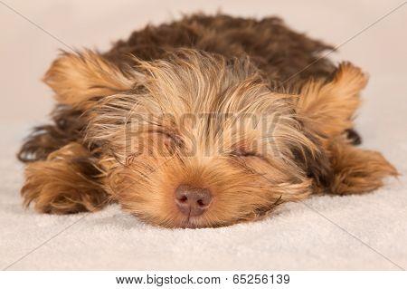 Yorkshire Terrier Puppy Standing In Studio Looking Inquisitive Beige Bed
