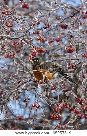Robin Perched in Red Ice-Covered Berries