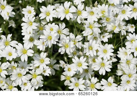 Stellaria Flowers Closeup