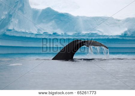 Humpback Whale Fluke in Antarctic Waters