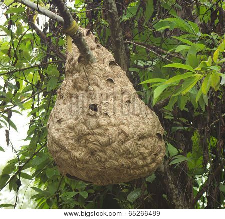 Wasp nest hanging on a tree branch