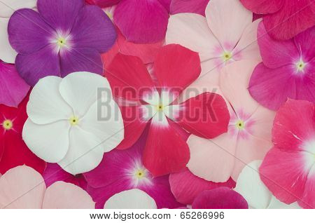 Beautiful periwinkle flower background
