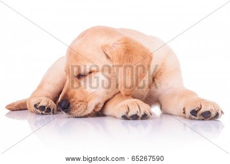 cute little labrador retriever puppy dog is sleeping on white background