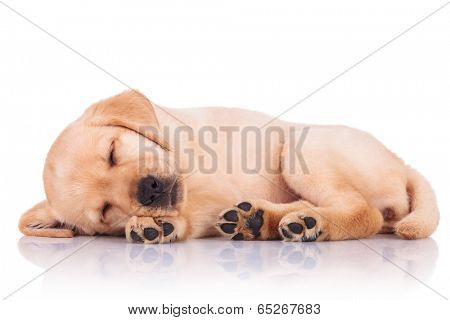 side view of an adorable little labrador retriever puppy dog showing its paws while sleeping on white background