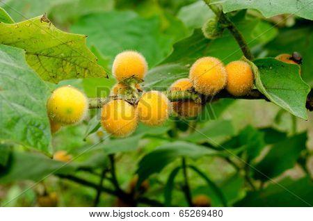 Solanum stramonifolium