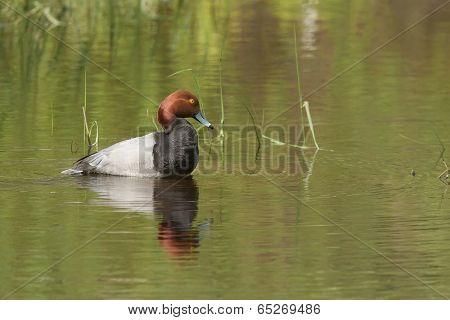Redhead Duck Near Hauser Lake.