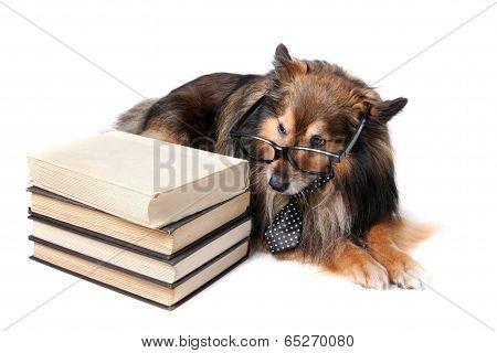 Sheltie Dog With Books