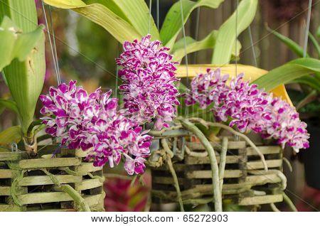 Rhynchostylis gigantea orchid