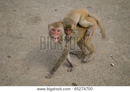 Rhesus macaque monkeys in Loei,Thailand