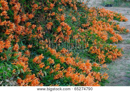 Orange Trumpet  (pyrostegia Venusta)