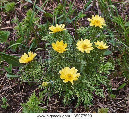 Springflowers Of Adonis (adonis Vernalis).