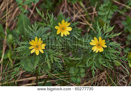 Spring  Flowers Of Adonis (adonis Vernalis).