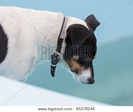 Jack Russell Terrier Dog On Beach In Swimmingpool.