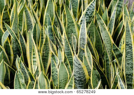 Sansevieria (mother-in-law's Tongue)