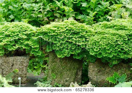Tiny Leaves Of Tropical Fern In Garden