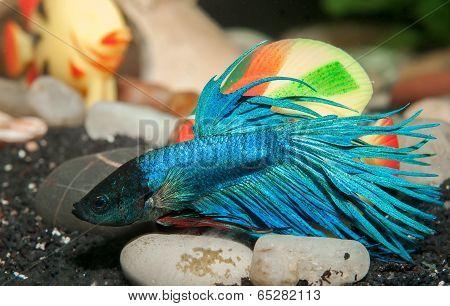 Male Betta Splendens Blue In Aquarium