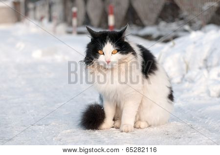 Black And White Cat On A Winter Walk