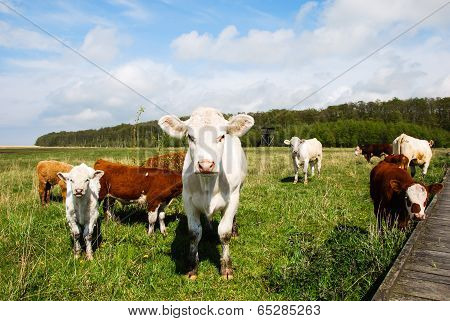 Cattle At A Pastureland