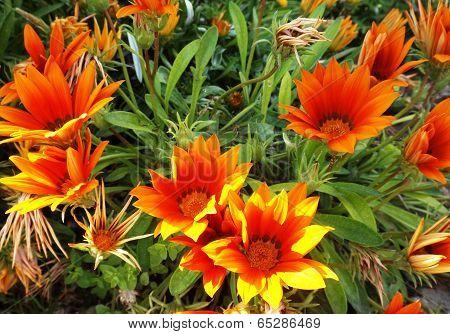 Orange Gzania