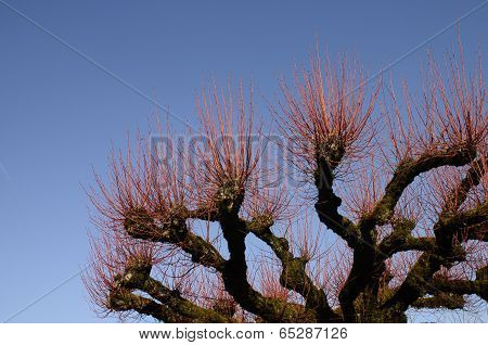 Young red branchs of a plane tree
