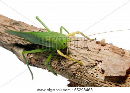 Green grasshopper perched on a branch